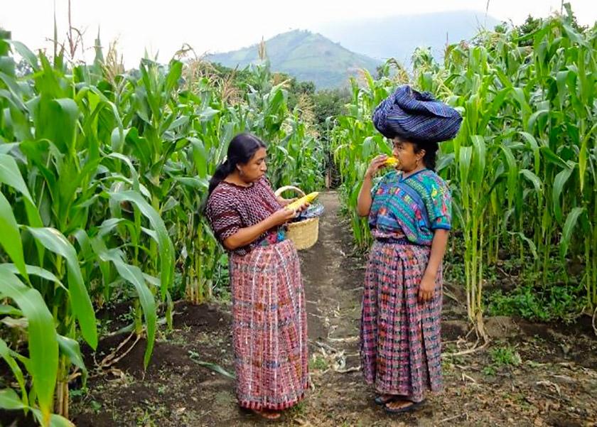 Майянки їдять кукурудзу