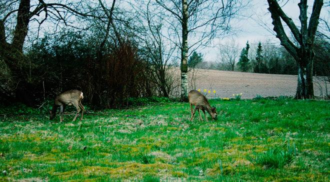 Дикі тварини пасуться біля будинку