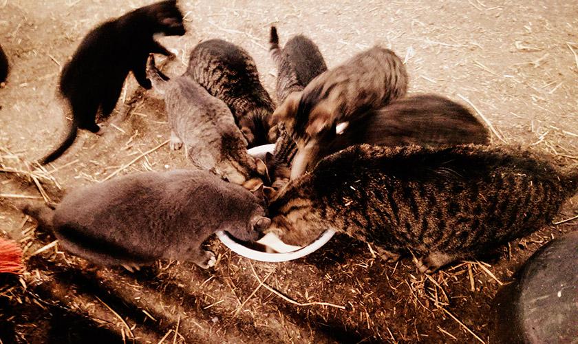 Фермери підгодовують бездомних котів